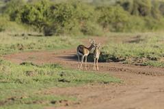 _MG_7913 (farhan1mirza) Tags: wild nature animal canon kenya wildlife 6d nnp nairobinationalpark