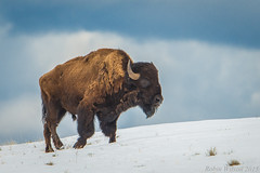 American Bison (Robin-Wilson) Tags: snow male big buffalo bravo colorado wintercoat cropped shaggy ungulate grazing freerange nikond800