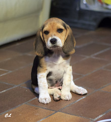 Louis (photos.shoot) Tags: dog chien france beagle race puppy photography amazing puppies photos chiot mignon picoftheday franchement