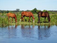Escaroupim (Hugo Albuquerque) Tags: horses horse naturaleza nature natureza cavalos escaroupim salvaterrademagos