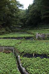 wasabi river (Lammietjie) Tags: summer green japan river wasabi nihon natsumi