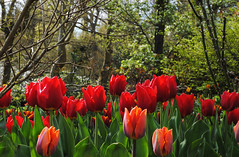 Pashley Manor Tulip Festival (Mark Wordy) Tags: eastsussex springflowers tulipa tulipfestival pashleymanor