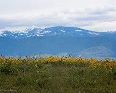 IMG_3148-Edit (Dancing Aspens) Tags: mountains montana arrowleafbalsamroot