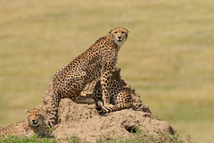 Chita (dragoms) Tags: africa kenya wildlife mara cheetah chita maasaimara frica acinonyxjubatus wildlifephotography qunia wildlifeconservancy dragoms