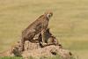Chita (dragoms) Tags: africa kenya wildlife mara cheetah chita maasaimara áfrica acinonyxjubatus wildlifephotography quénia wildlifeconservancy dragoms