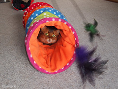Caithlin's favourite toys - Happy Caturday (Finn Frode (DK)) Tags: pet cats animal cat denmark play wand feather tunnel indoor olympus som somali tease somalicat rustle caithlin happycaturday omdem5 dusharacathalcaithlin