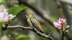 Allen's Hummingbird (Bob Gunderson) Tags: sanfrancisco california birds northerncalifornia fortmason hummingbirds allenshummingbird selasphorussasin canoneos7dmarkii