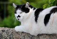 Black & White Cat on the wall (patrick_milan) Tags: blackandwhite white black cat noir noiretblanc bretagne britanny rue blanc finistre plouguin