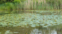 water lillies (Marlytyz) Tags: pond calm waterlilies naturereserve tranquil
