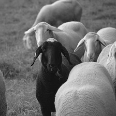 Sheep (Kalusija) Tags: blackandwhite bw white nature animal animals tiere blackwhite sheep natur sw schwarz tier schaf mh weis herde schwarzweis