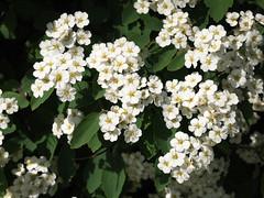 Abundance (gripspix (OFF)) Tags: white plant flower nature blossom natur pflanze shrub blume blte hawthorn busch weis weisdorn 20160523 foolingwithmycam kameranarrheiten