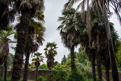 Palm Garden - The Gardens at Lake Merritt - Oakland - California - 09 April 2016 (goatlockerguns) Tags: sanfrancisco california park city trees urban usa lake west nature oakland coast natural unitedstatesofamerica palm palmtrees coastal bayarea eastbay merritt thegardens