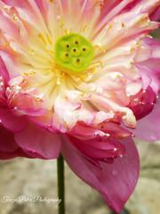 Lotus (Terezaki ) Tags: pink green yellow thailand waterdrop waterlily lotus bangkok indian
