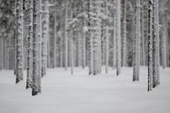 Winter Camouflage (lindblomlinus) Tags: wood trees winter blackandwhite white snow tree monochrome forest landscape vinter woods pentax sweden bokeh sverige depth bnw samyang