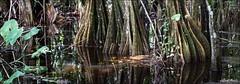 Rainforest panorama (Laurent Asselin) Tags: rainforest eau fort humidit guyane