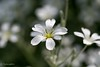 Cerastium (Yorkey&Rin) Tags: macro japan bokeh may olympus neighborhood kanagawa rin kawasaki マクロ 2016 近所の公園 em5 cerastium 5月 セラスチューム olympusm60mmf28macro t5030418