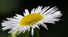 semplicemente... (andrea.zanaboni) Tags: sun white flower macro primavera colors yellow spring nikon ngc giallo sole fiore colori bianco candido