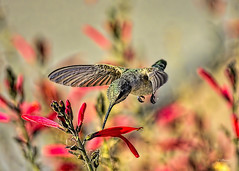 Bright And Early (VGPhotoz) Tags: vgphotoz brightandearly hummingbird nikon nikkor arizona flowers bif wings nature ngc fugitivemoment callingallangels usa earlybird natural artisiticphotography artpics photography naturephotography colibri wildlife