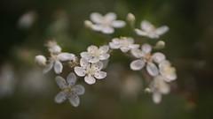 Helios 44mm + ZLTii (Caledonia84) Tags: macro lens scotland flora glasgow turbo ii f2 58mm botanicgardens helios zhongyi raynoxdcr150 44m