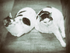 Cats from the past -[ HSS ]- (Carbon Arc) Tags: wet cat fur feline kitty plate couch sofa effect cowcat sliderssunday nikcollection analogefexpro
