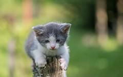 kittens (02) (Vlado Fereni) Tags: cats animals kitty croatia kittens catsdogs animalplanet hrvatska hrvatskozagorje tamron9028 zagorje nikond600