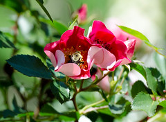 Busy as a bee... (bankst) Tags: flowers red sunlight nature rose spring nikon shadows bokeh bumblebee ourside pollunation d5100