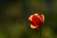 (481) (boomer_phil) Tags: red macro green rouge nikon bokeh champs vert couleur d500 coquelicot