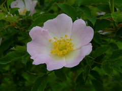 Dog Rose (Dendroica cerulea) Tags: flowers plant flower rose newjersey spring nj rosa highlandpark shrub dogrose rosales rosaceae rosacanina fav10 middlesexcounty rosoideae ayresbeach redsmarina