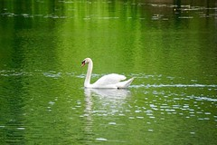Swan on Green ((Jessica)) Tags: green bird nature water boston spring swan wildlife massachusetts newengland pw woburn hornpond wildlifewednesday