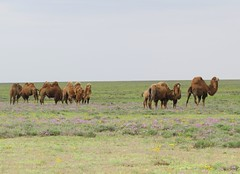 Steppe Camels (tom_2014) Tags: travel field animal landscape asian asia view outdoor camel pastoral grassland centralasia camels herd kazakh bactrian grazing steppe bactriancamel camelherd betpakdala betpakdaladesert
