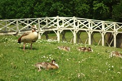 Painshill park. (Westhamwolf) Tags: park england gardens geese surrey painshill