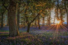 Kinclaven sunset (Katherine Fotheringham) Tags: flowers trees sunset wild sun bluebells scotland woods tayside kinclaven