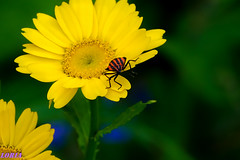De flor en flor. (loriagaon) Tags: flowers espaa plants naturaleza flores macro nature animals plantas galicia animales margaritas pontevedra chinche loria loriagaon rx10lll sonyrx10lll sonydscrx10iii