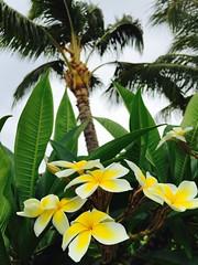 Lahaina (Penseroso) Tags: flowers plumeria maui palmtree lahaina