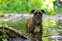bathing in the flooded forest (Tams Szarka) Tags: dog pet nature water animal forest puppy spring outdoor boxerdog boxer