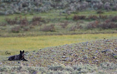 Lone Black Wolf - 7171b (teagden) Tags: park black nature photography wolf wildlife national yellowstonenationalpark lone yellowstone resting sagebrush ynp naturephotography blackwolf yellowstonepark wildlifephotography yellowstonewildlife jenniferhall jenhall jenhallphotography jenhallwildlifephotography