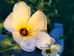 Raindrops (henriiqueprado) Tags: flowers flores macro apple nature se natureza explore raindrops iphone expressyourself shotoniphone