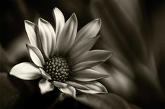 Monochrome Flower (Leanne Cole) Tags: macro monochrome lensbaby photographer photos australia images victoria environment fineartphotography macroflowers macrophotography environmentalphotography fineartphotographer nikond800 doubleglassoptic environmentalphotographer composerpro leannecole leannecolephotography