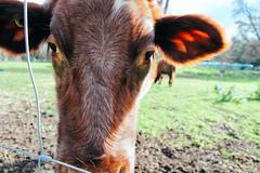 IMG_2787 (Hi I'm Britt) Tags: cute nature animals closeup outdoors cow cows farm australia melbourne victoria upclose convent farmanimals abbotsford lightroom abbotsfordconvent