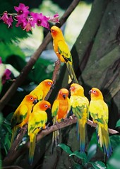SINGAPORE LORY (patrick555666751) Tags: singapore perroquet aves bird oiseaux vogel asie asia du sud est south east singapura worldwide fauna lory tiere dieren animali animal animals animaux