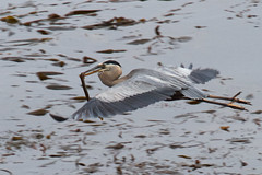 Great Blue Heron (Tom Clifton) Tags: heron birding pointlobos greatblueheron gbhe