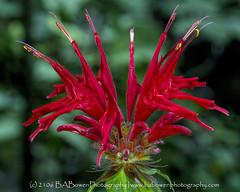Crimson Bee Balm2 (B A Bowen Photography) Tags: chattahoocheenationalforest sosbeescove flowers wildflowers babowenphotography georgia blueridgemountains crimson bee balm