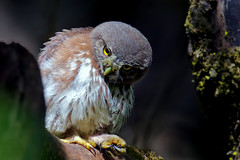 Northern Pygmy owlet (Thy Photography) Tags: northernpygmyowl northernpygmyowlet wildlife animal bird nature outdoor photography avian backyard