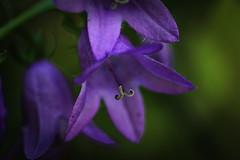 Purple Bells (CCphotoworks) Tags: wildflowers bokeh july summer blooming blooms nature bell purplewildflowers purpleflowers purple bellflowers ontariowildflowers