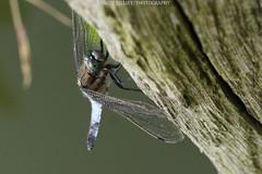 Libellule - Dragonfly 2016 (benoit871) Tags: bird couchdesoleil dragonfly estaires insect insecte libellule meteren nord oiseau sunrise sunset