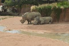 Rinoceronti all'ombra (querin.rene) Tags: renquerin qdesign parcolecornelle parcofaunistico lecornelle animali animals rinoceronte rhinos