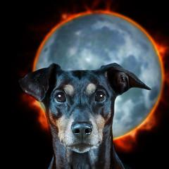 a2totaljmb (Gipsen) Tags: total eclipse moon sun dog german pinscher kilo