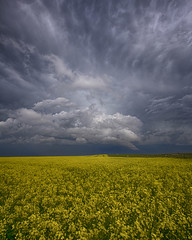 Milking It (Ryan Wunsch) Tags: canola thunderstorm alberta canada crop brilliant