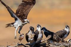 Osprey at Nest (cameronrognan) Tags: fish osprey nest pandionhaliaetus