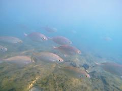 GOPR0676 (RD1630) Tags: sea meer ozean ocean fish fisch water sunny underwater natur nature fuerteventura